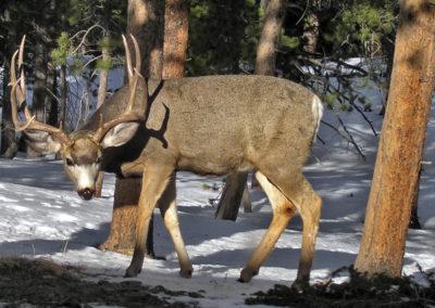 deer-R